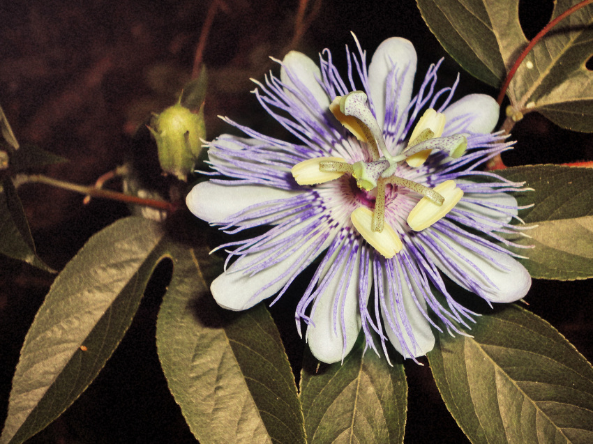 A medicinal Passionflower plant used to compare to the health benefits of Cannabis