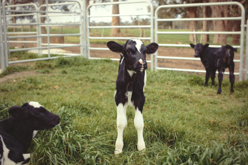 Three Friesian calves are being contained in a grassy holding pen