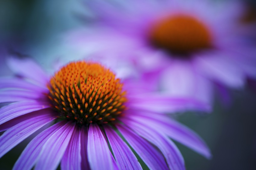 Two beautiful flower heads of the Echinacea plant to compare to the health benefits of Cannabis