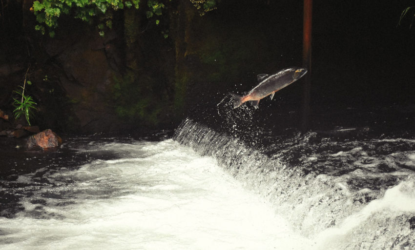 A wild salmon jumping up out of the water and about to swim upstream