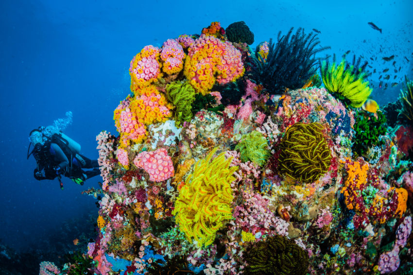 Scuba diving looking at a very colourful healthy coral reef