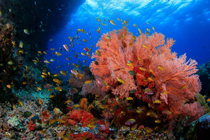 A beautiful pink red coral with many colourful fish swimming past