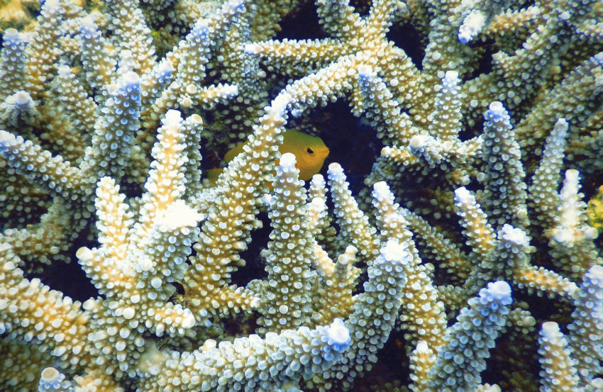 Yellow fish hiding in healthy yellow coral