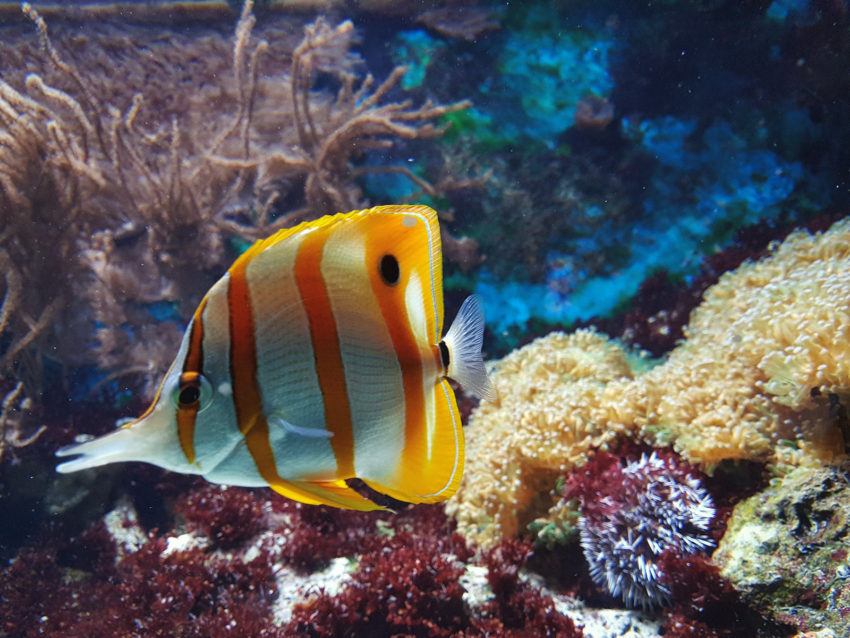White and orange striped fish swimming past healthy coral