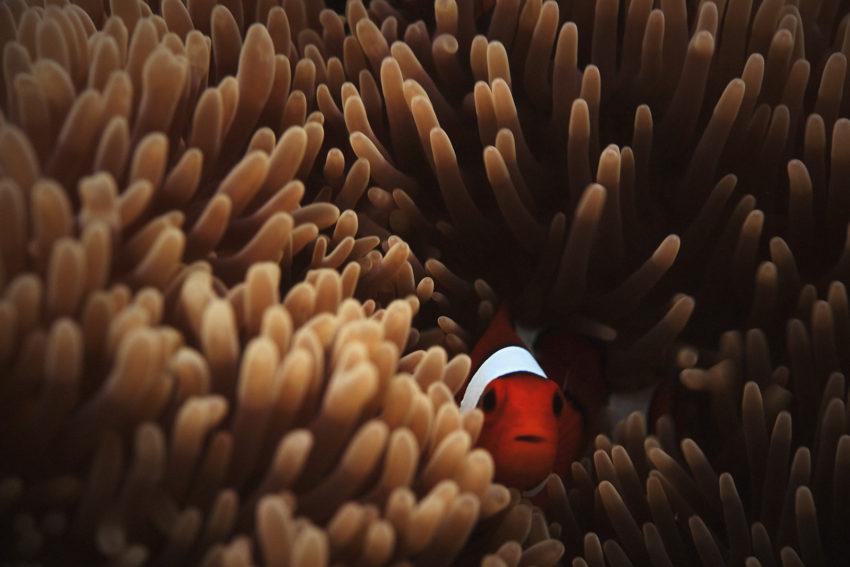 Clown fish hiding in a healthy anemone
