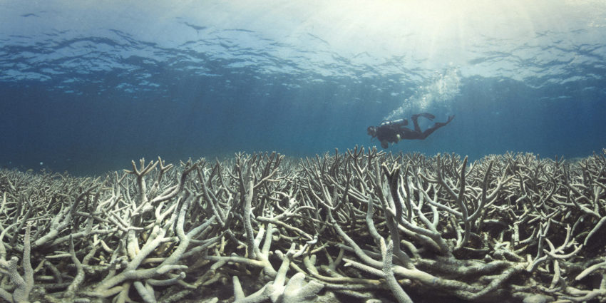 Scuba diver looking at bleached coral that has died